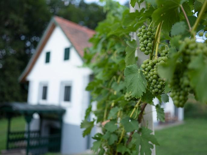 Krenn Kniely Winzerhaus Weintrauben